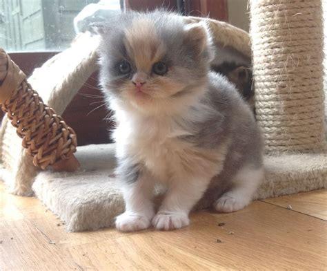 kitten for sale kittens for sale northton