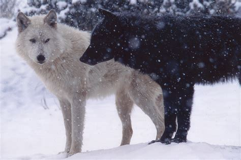 Cool Images Of Wolves