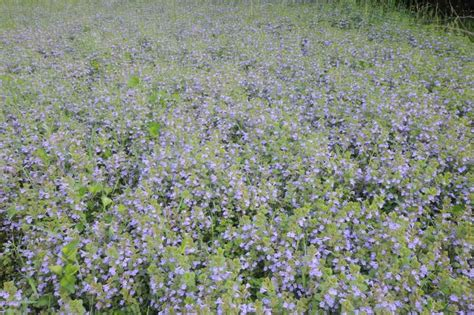 how to get rid of creeping gardening landscaping how to get rid of creeping charlie ground ivy creeping charlie