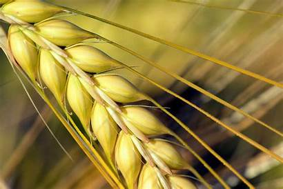 Barley Varieties Uses Field Withstands Climate Less
