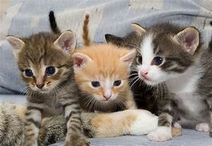 Domestic Shorthair Cat Breed: Personality & Info | Hill's Pet  Domestic