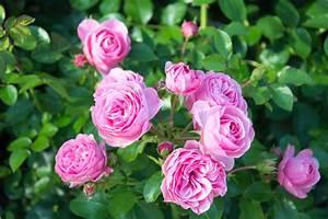 Rosen Im Topf Pflege : rose leonardo da vinci im k bel halten und pflegen ~ Lizthompson.info Haus und Dekorationen
