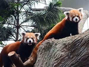 Red panda at Singapore River Safari passes away ...