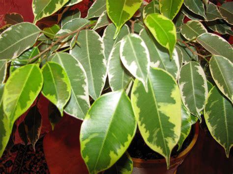 ficus benjamina plant care plants guide