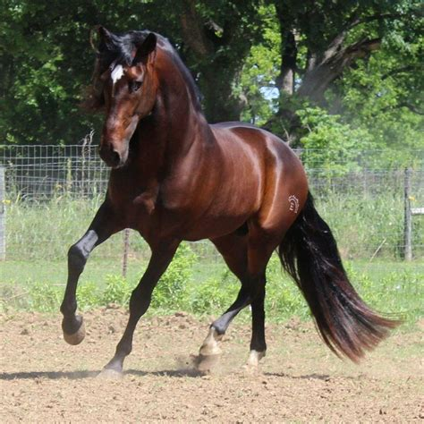 andalusians andalusian epic horse pre equinenow farm farms