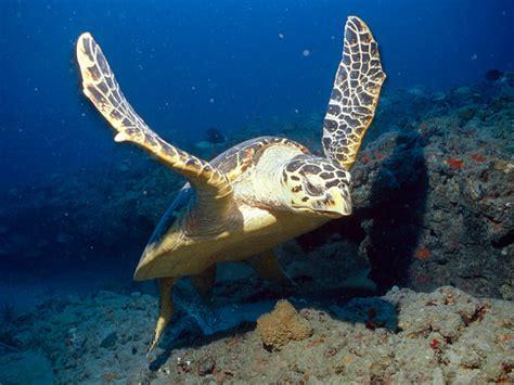 heat ls for water turtles hawksbill sea turtle