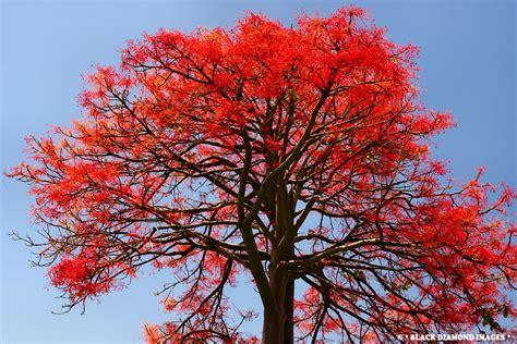 brachychiton acerifolius illawarra flame tree