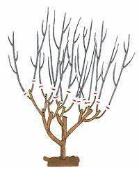 Kirschbaum Richtig Schneiden : hibiskus richtig schneiden winter g rten und pflanzen ~ Lizthompson.info Haus und Dekorationen