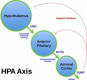 File Hpa Axis Diagram  Brian M Sweis 2012  Svg