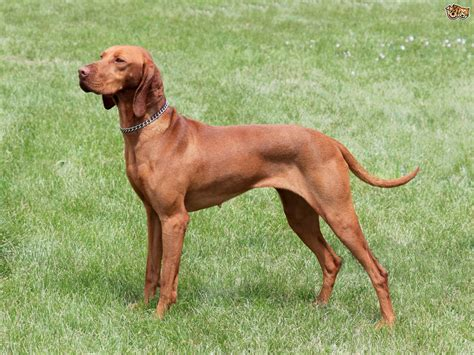 do vizsla dogs shed hair hungarian vizsla breed information buying advice