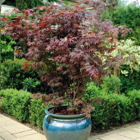 acer japanese maple palmatum atropurpureum telegraph garden shop