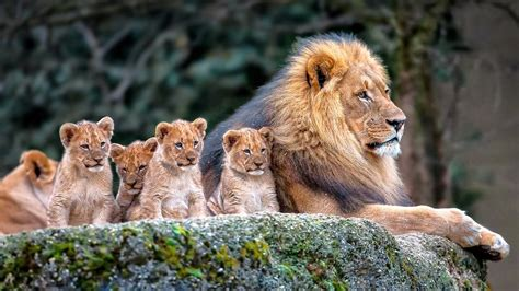 Animal Cubs Wallpapers - animals mammals cubs baby animals wallpapers hd