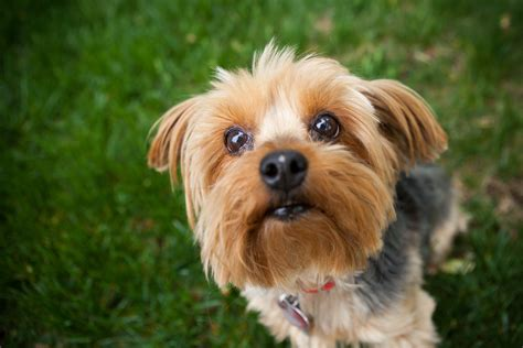Yorkshire Terrier Small Dog Breeds