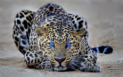 Jaguar Animal Hd Wallpapers 1080p - beautiful jaguar animal hd wallpapers 1080p anime wallpaper