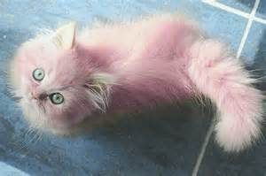 pink cats pink kittens pink perfection cats i want