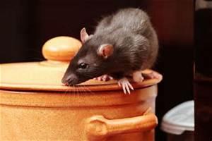 Comment Se Debarrasser Des Rats : comment se d barrasser des rats et des souris ~ Melissatoandfro.com Idées de Décoration