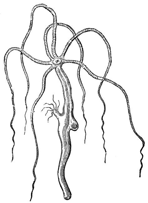 hydra vulgaris clipart