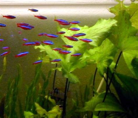 cardinal tetra the care feeding and of