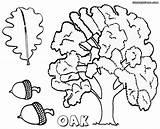 Oak Coloring Tree Sheet Colorings sketch template