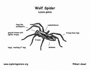 Spider  Wolf