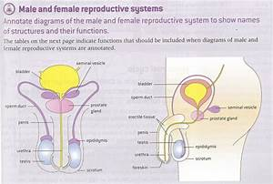 35 Label The Male Reproductive System Worksheet