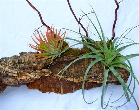 mounting air plants tillandsia landscape craft organic