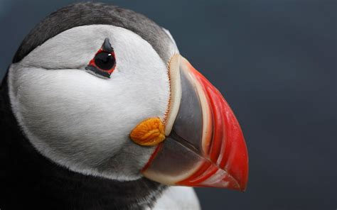 atlantic puffin wallpapers hd wallpapers id