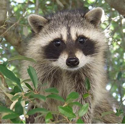 Raccoon Face Adorable Racoon Coloring Racoons Animals