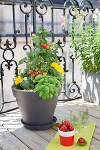 Plant Tomate Cerise : planter des tomates cerises en pot comment faire ~ Melissatoandfro.com Idées de Décoration