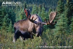moose photo alces americanus g54275 arkive