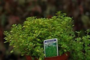 Weihrauch Pflanze Winterhart : rosen weihrauch iboza species g rtnerei online ~ Lizthompson.info Haus und Dekorationen