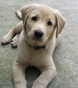 Yellow Lab Pup | Dogs / Man's Best Friend | Pinterest ...