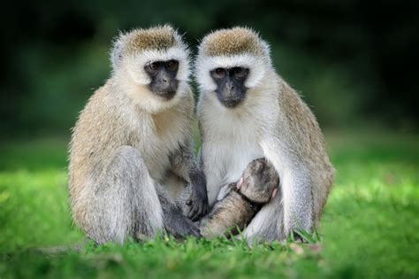Five Painfree Ways To Manage The Monkey Menace  North Coast Courier
