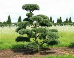 bonsais die kleinen baume machen jeden garten zu einer With whirlpool garten mit pinus sylvestris bonsai kaufen