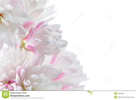 White Pretty Backgrounds by Pretty Pinkish White Deutzia Scabra Flowers On White