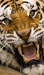 1000+ images about Big Cats Say It With A Roar! on ...