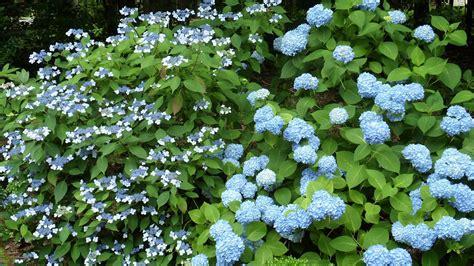 5 ways to grow hardy happy hydrangeas grow beautifully