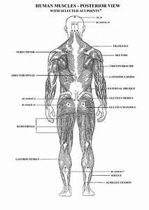 Blank Muscle Diagram And Answers