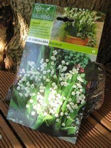 Comment Planter Du Muguet : muguet plantation culture division ~ Melissatoandfro.com Idées de Décoration