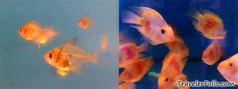 freshwater aquarium fish types aquarium freshwater tropical fish species for planted aquarium