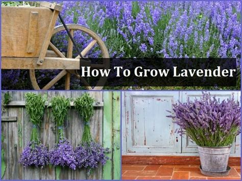 lavender how to plant pin by heather murray on gardening pinterest