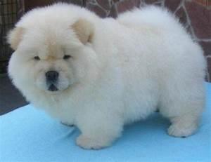 Found this Cream Chow pic....soooo looks like my little ...