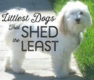 top 10 small dogs that don t shed
