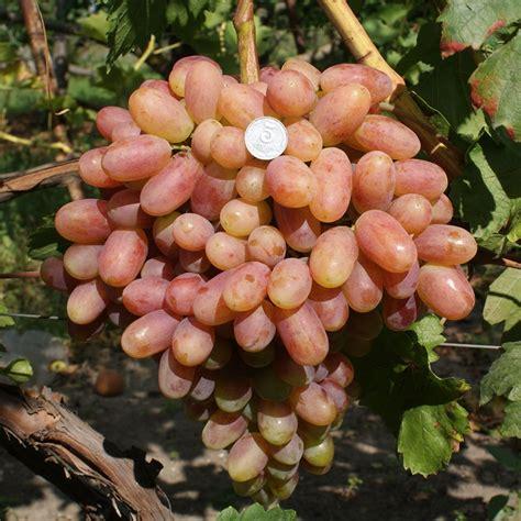сорт винограда юрин описание и покупка