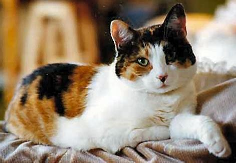 calico cat are calico cats always the pet product guru