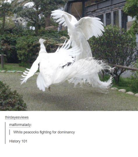 Peacock Meme - 25 best memes about white peacock white peacock memes
