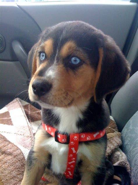 busky dogs google search beagle mix puppies beagle