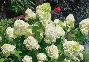 Welche Pflanzen Passen Zu Rosen : hortensie bobo inkl bertopf online kaufen otto ~ Lizthompson.info Haus und Dekorationen