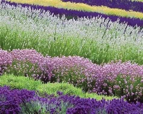 Most Fragrant! 30+ White, Red & Purple Lavender Mix Flower