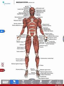 Diagram Of The Muscular System From The Free Anatomy Study